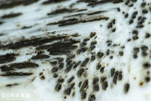 茭白筍黑點是因為菰黑穗菌