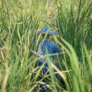 茭白筍種植