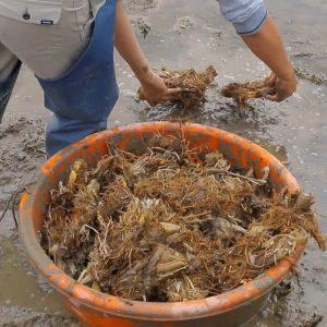 茭白筍種植-種植茭白筍苗/茭白筍頭