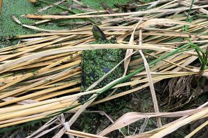 埔里特產茭白筍-生態烏龜