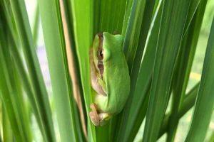 埔里特產茭白筍-生態樹蛙