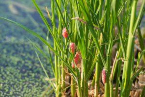 埔里特產茭白筍-福壽螺