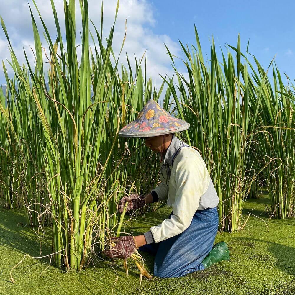 埔里特產茭白筍-友善除草
